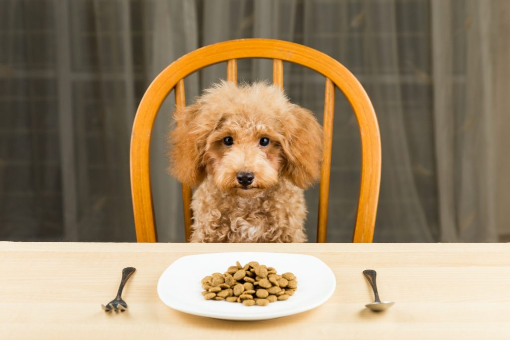 Uninterested Poodle puppy with plate of kibbles on the table
